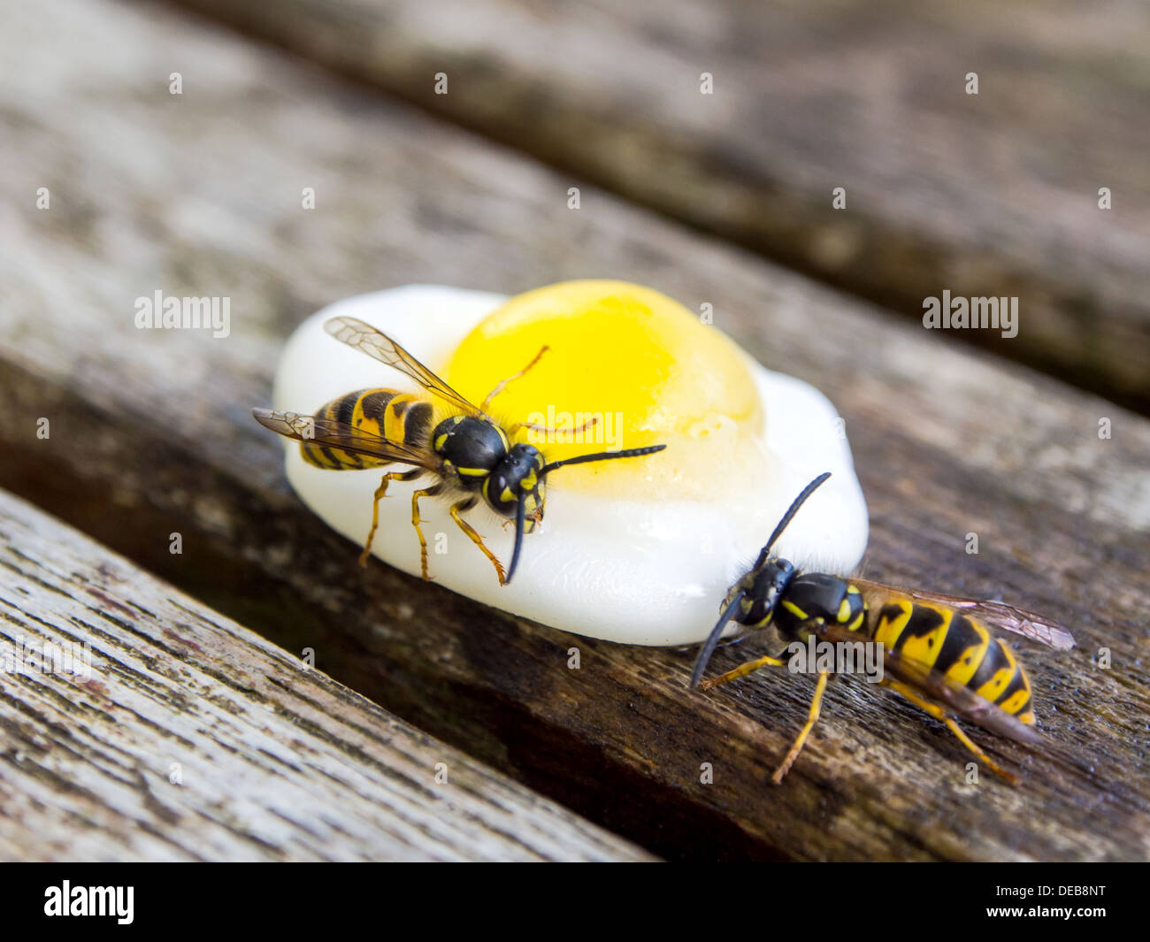 two-wasps-feeding-on-an-egg-shaped-sweet