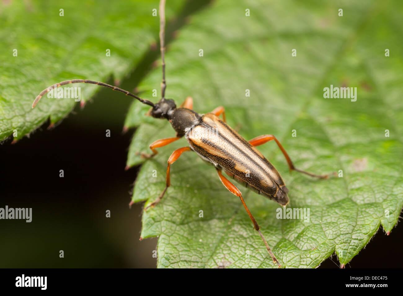 Asian Longhorned Beetle Life Cycle - Orkin.com