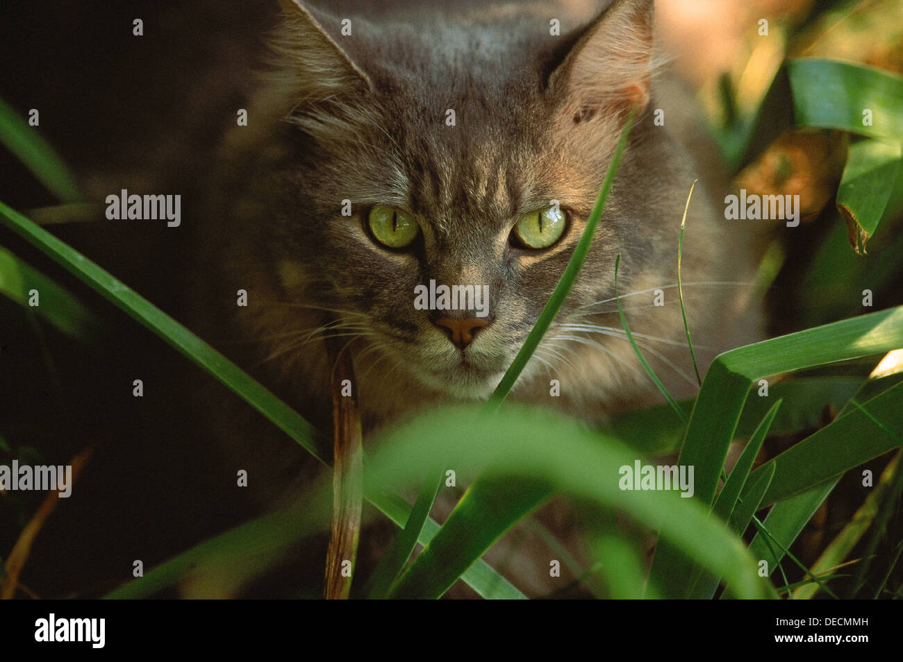 GREY CAT WITH BRIGHT GREEN EYES Stock Royalty Free Image