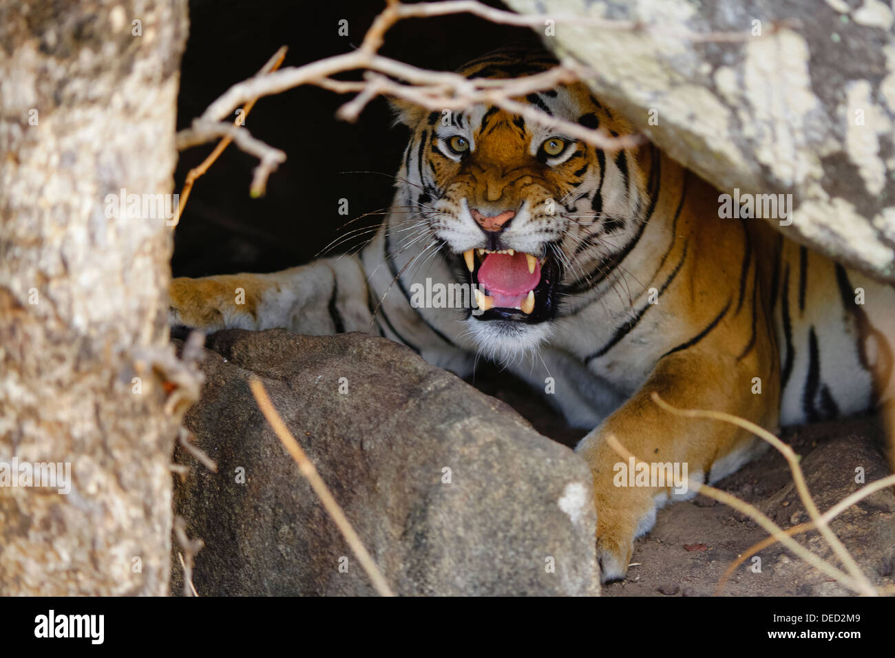 A Bengal Tiger inside the cave growling at Pench Forest ...