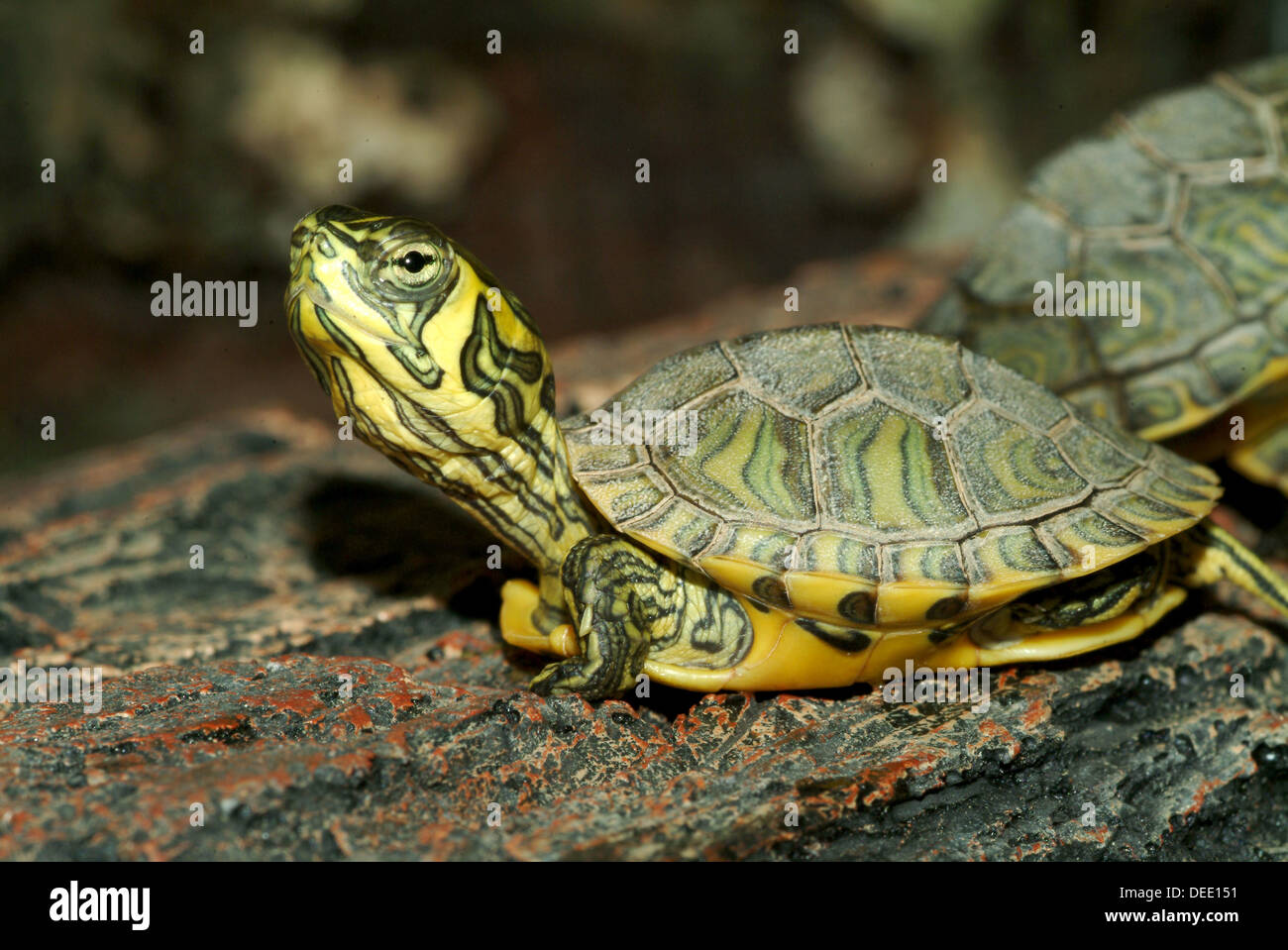 Yellow bellied slider trachemys scripta scripta stock for Trachemys scripta