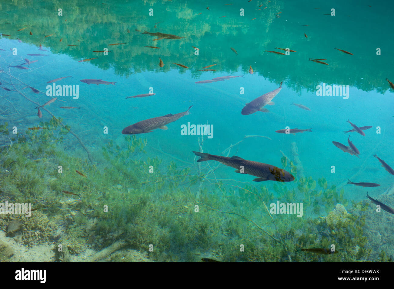 Fish in a crystal clear lake plitvice lakes national for Clear lake fishing
