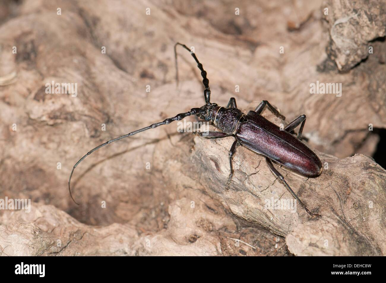 male great capricorn beetle cerambyx cerdo a cerambycidae longhorn stock photo royalty free. Black Bedroom Furniture Sets. Home Design Ideas