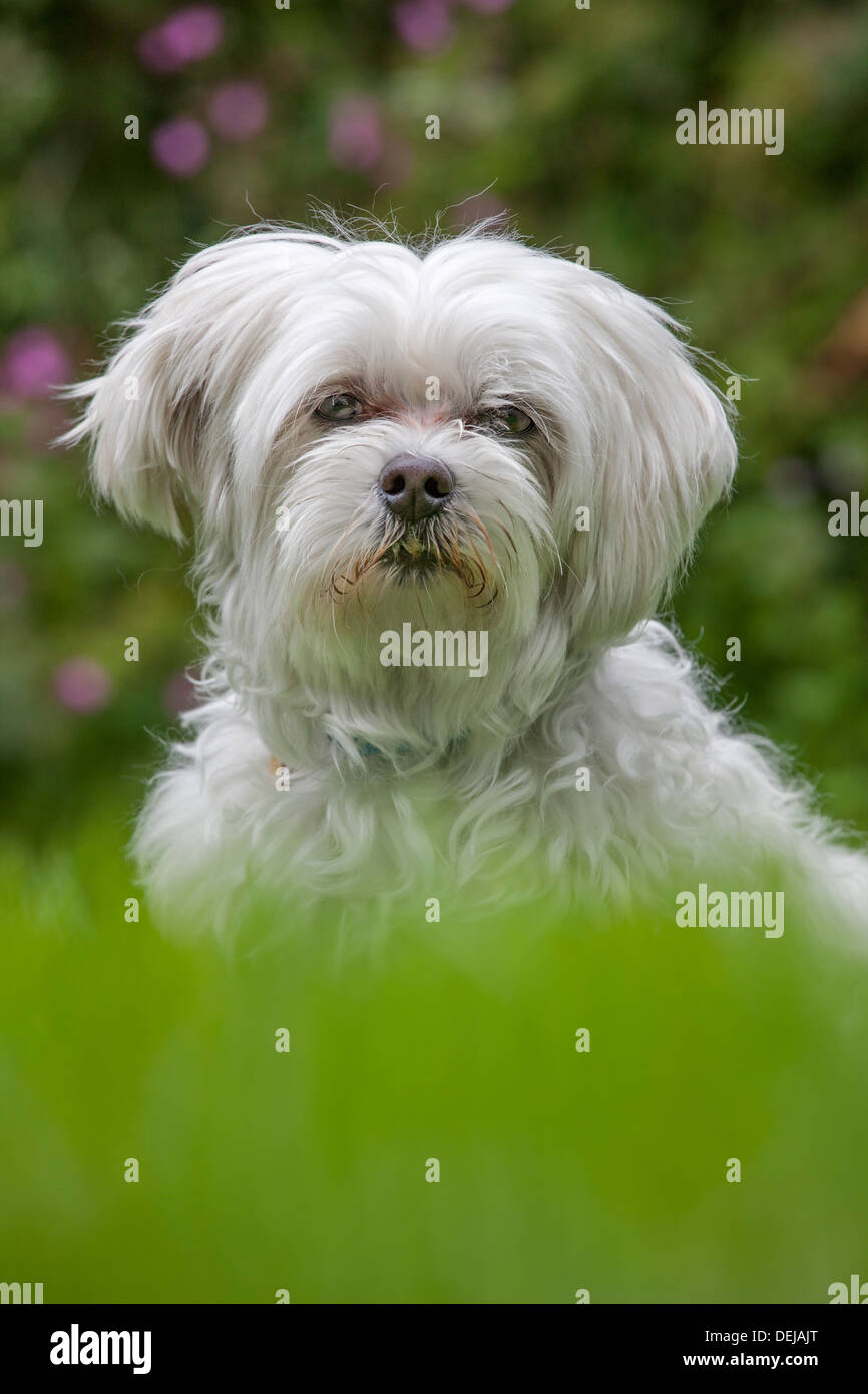 Can A Maltese Live Outside With Another Dog
