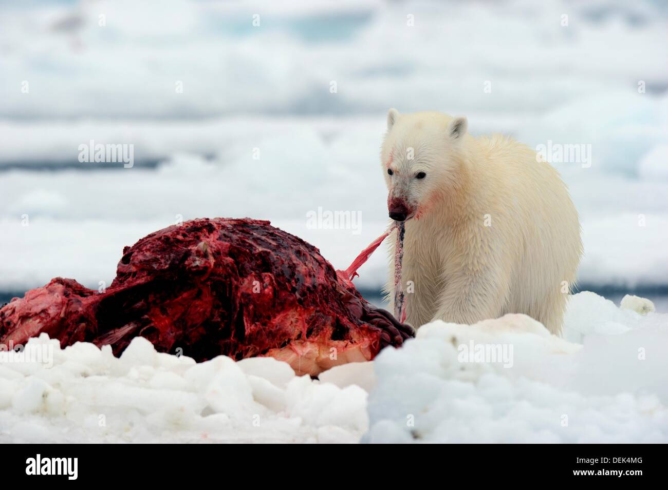 narwhal arctic stock photos u0026 narwhal arctic stock images alamy