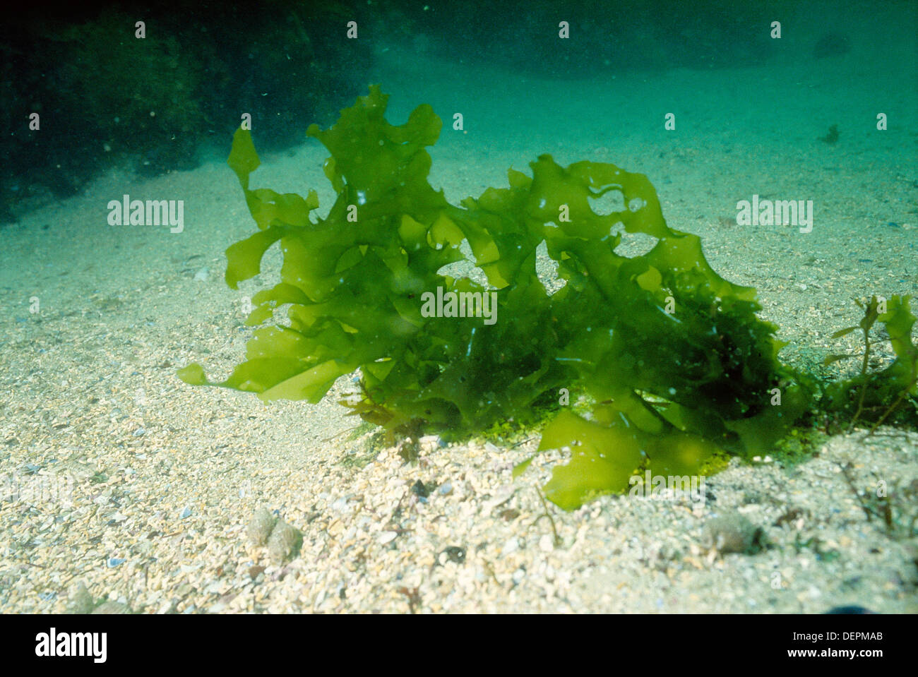 Sea Lettuce (ulva Rigida). Galicia, Spain Stock Photo ...  Sea Lettuce (ul...