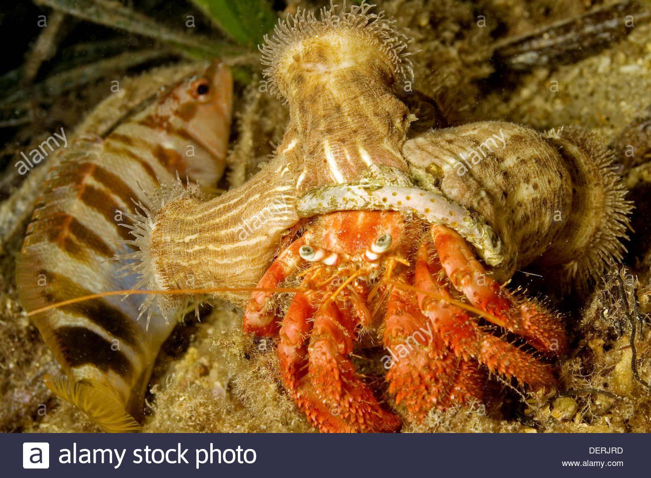 gran ermitao great hermitcrab dardanus parasitica mar mediterrneo