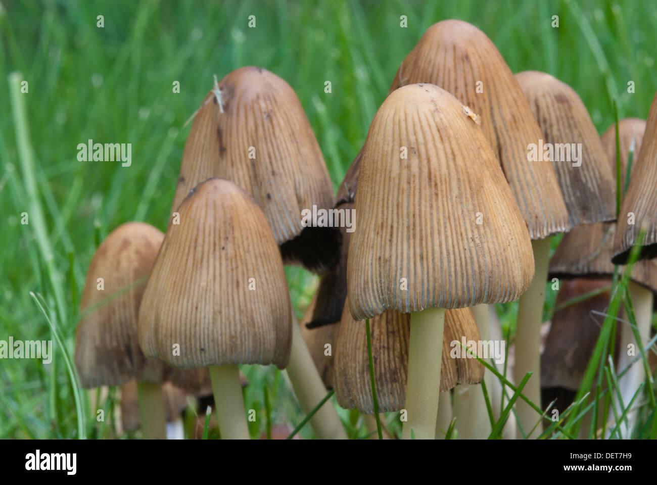 lawn mushroom mushrooms stock photos u0026 lawn mushroom mushrooms