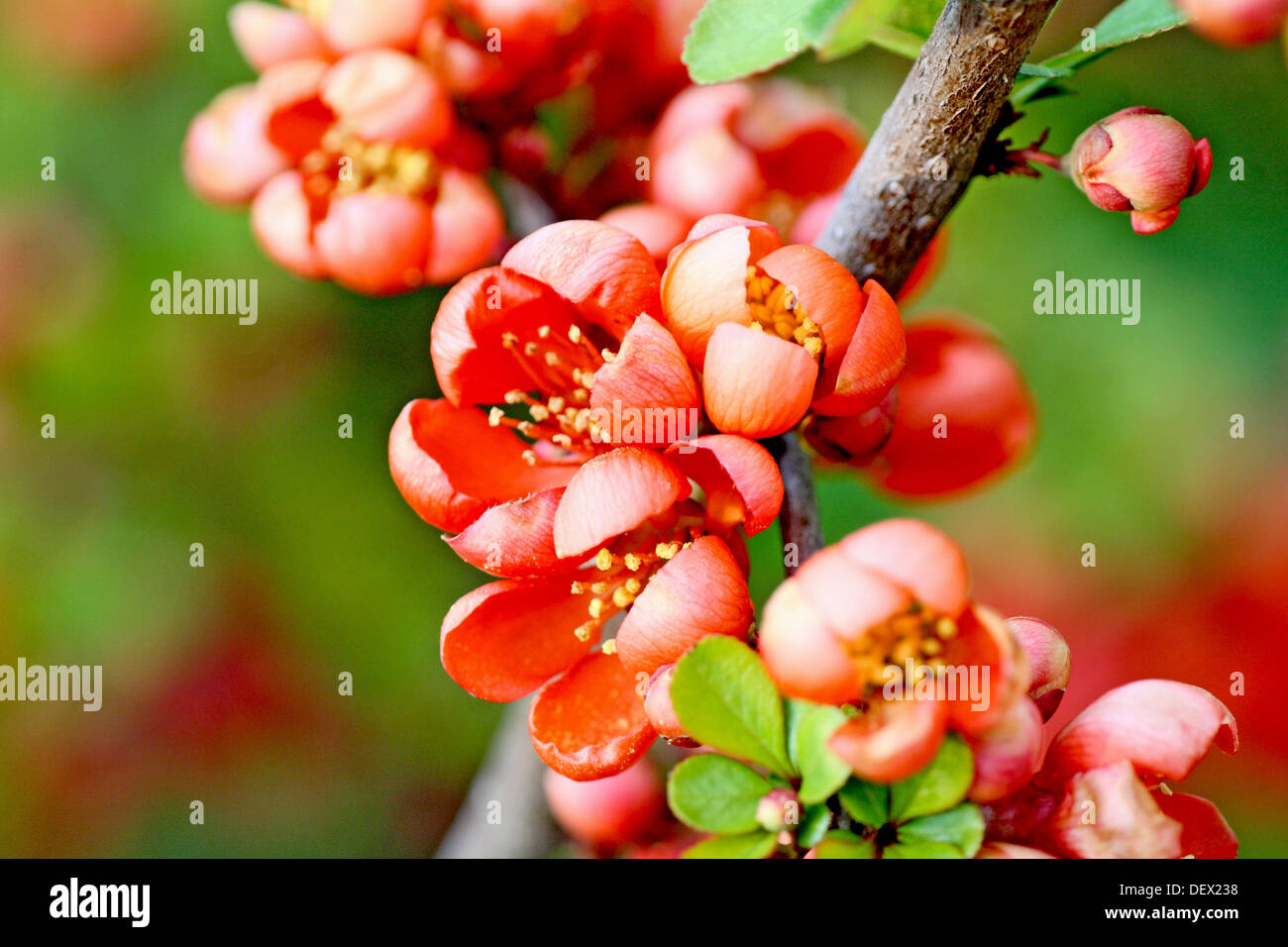flowering quince chaenomeles cluster of quince blossoms orange quince flowering plant with sharp thorns very stock - Quince Flower