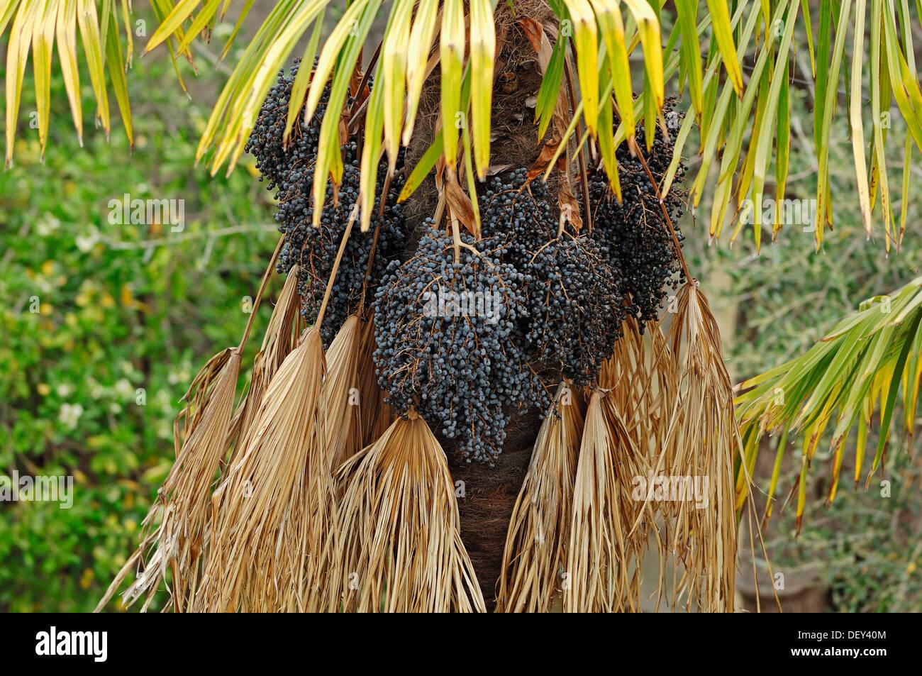 chusan palm or chinese windmill palm trachycarpus. Black Bedroom Furniture Sets. Home Design Ideas