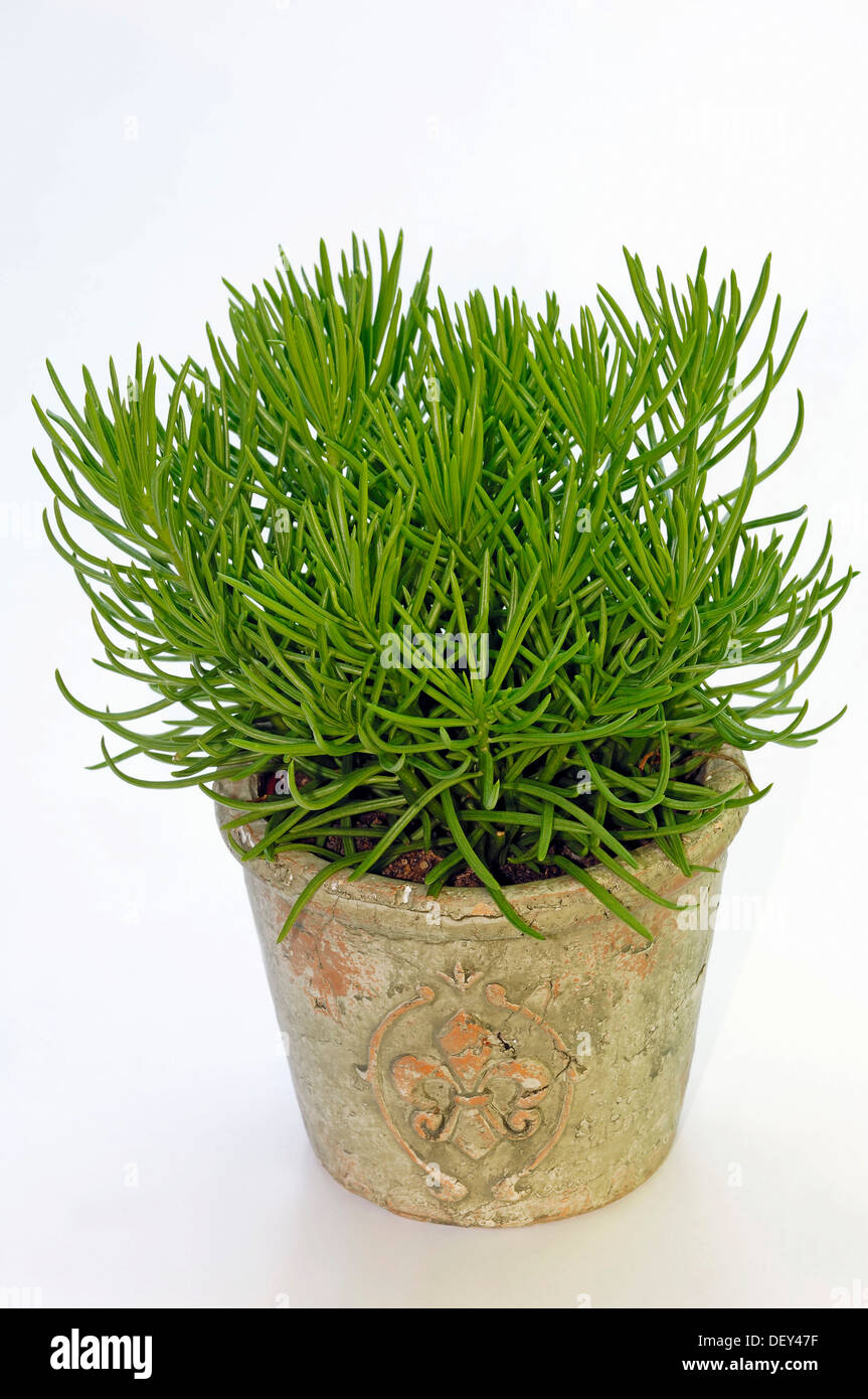 himalayan senecio senecio himalaya in a flowerpot. Black Bedroom Furniture Sets. Home Design Ideas