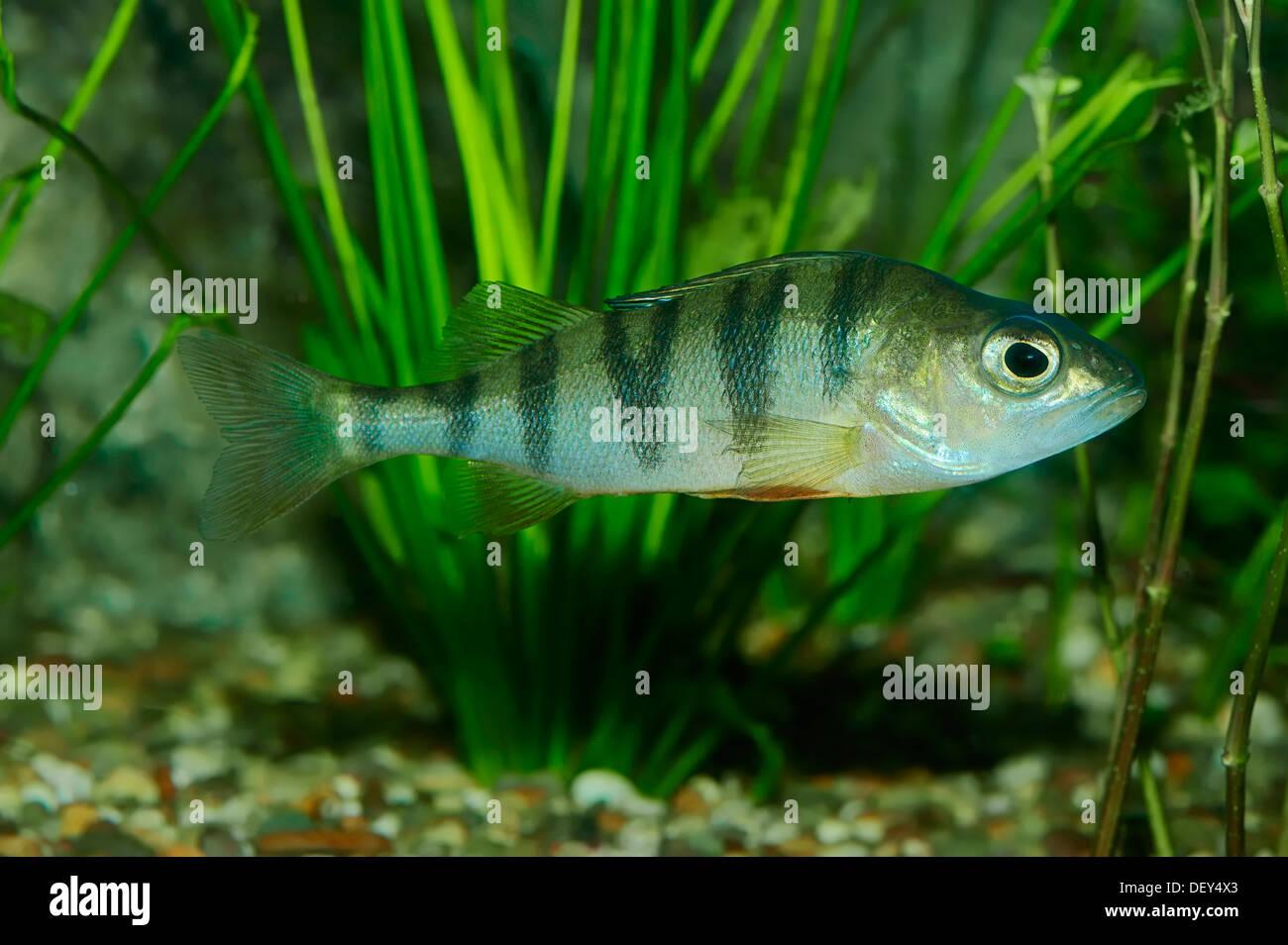 Freshwater juvenile fish - European Perch Perca Fluviatilis Freshwater Fish Native To Europe Captive