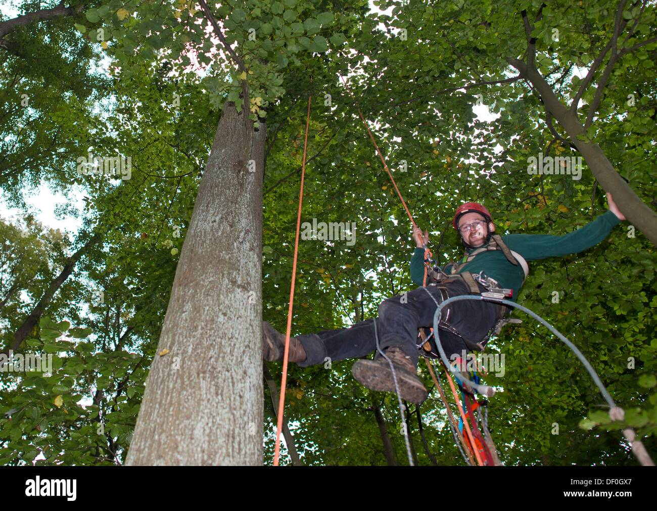 Cone picker Stefan Teschke climbs up into a Small-leaved Lime (lat ...