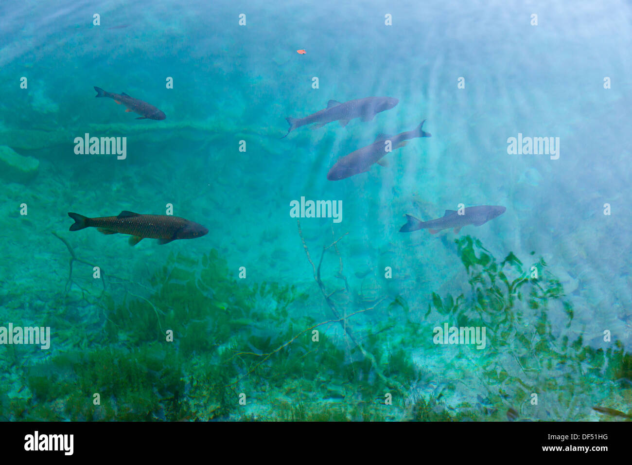 Common carp carpa comun o europea cyprinus carpio for Carpa europea