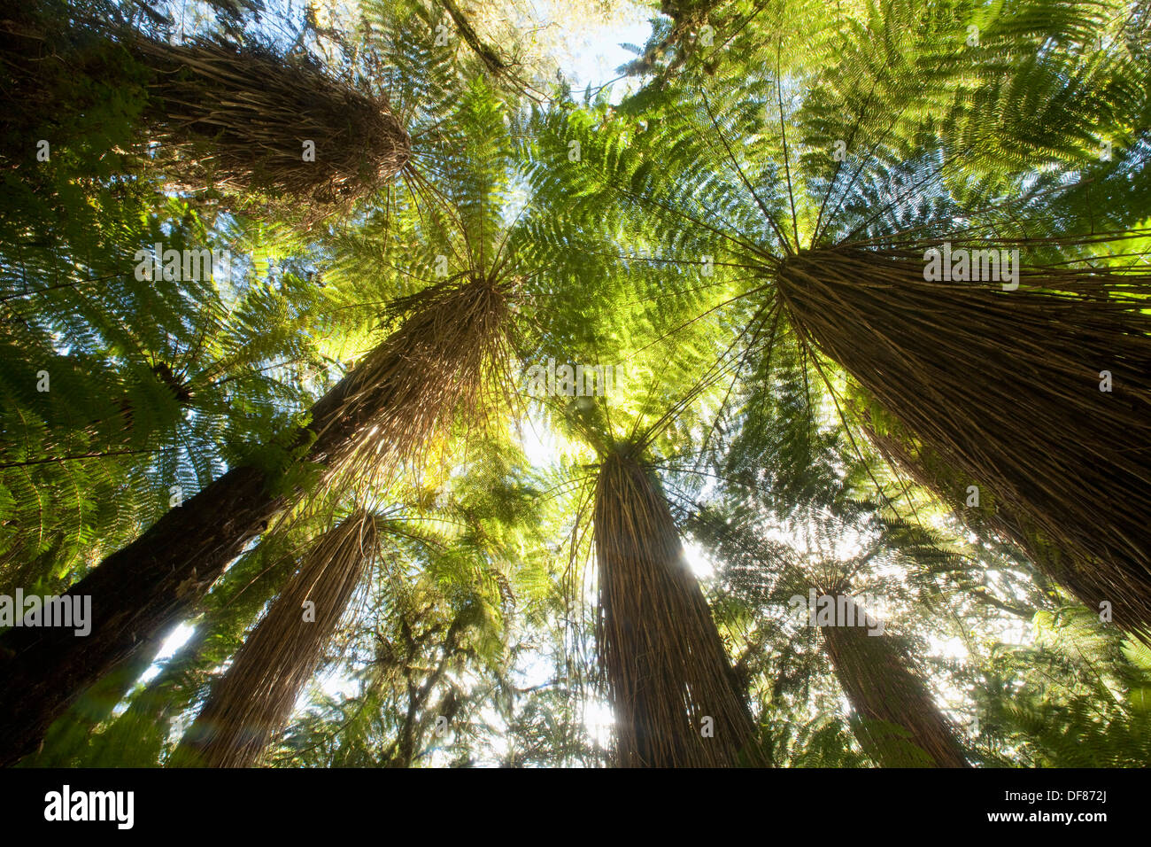 Tree ferns thick canopy near Haast Pass World Heritage West Coast New Zealand : thick canopy - memphite.com