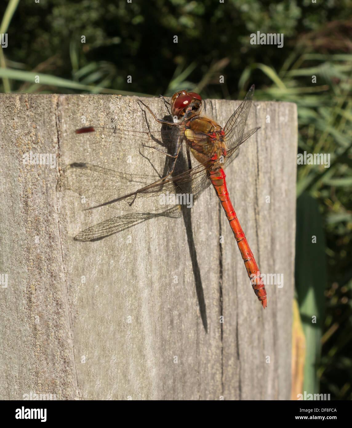 common-darter-dragonfly-milton-cambridge