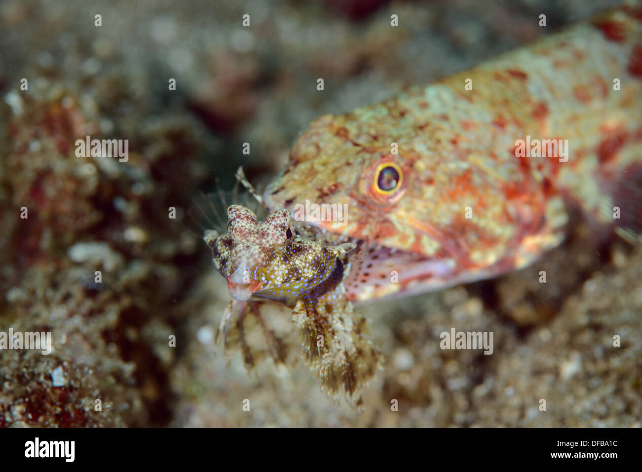 A lizard fish eating a dragonet fish indonesia lembeh for Water lizard fish