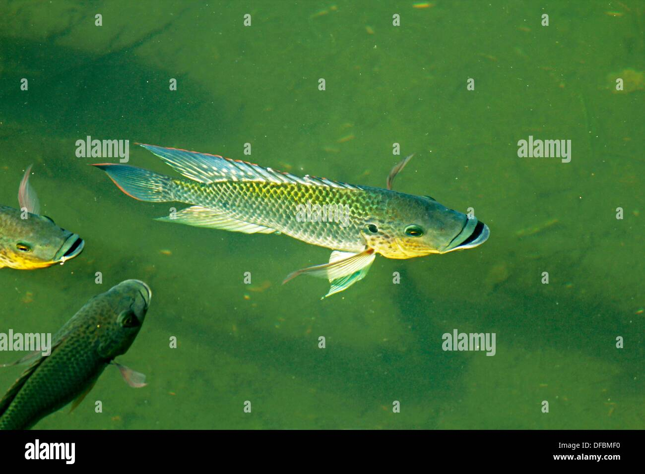 Blue Kurper Mozambique Tilapia Oreochromis Mossambicus Fishes In Stock Photo Royalty Free