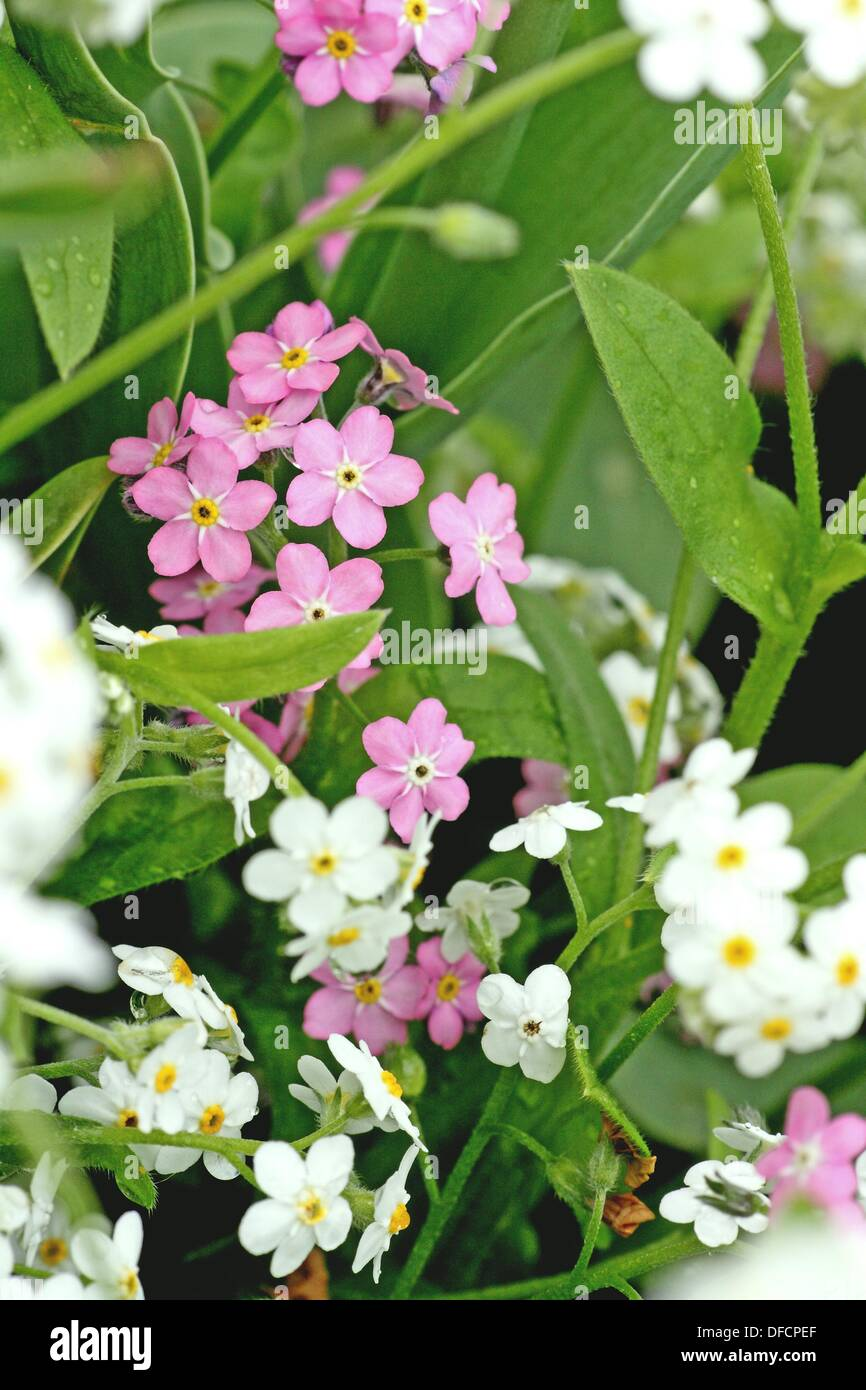 Pink And White Forget Me Not Myositis Delicate Flower Of Multiple Fragile Blossoms Ground Cover The Flowers Name
