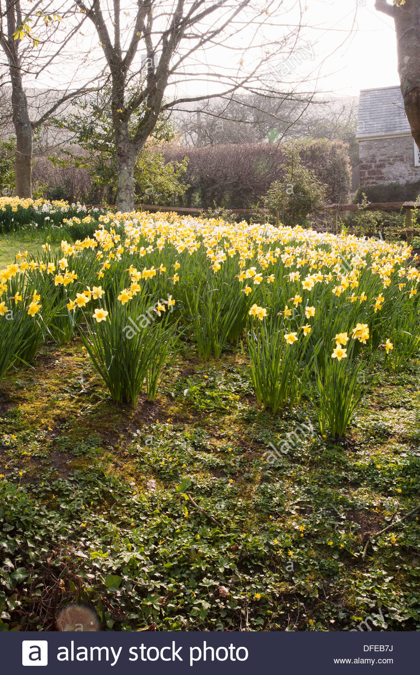 Drifts of mixed Narcissus for spring colour Stock Photo: 61167110 ...