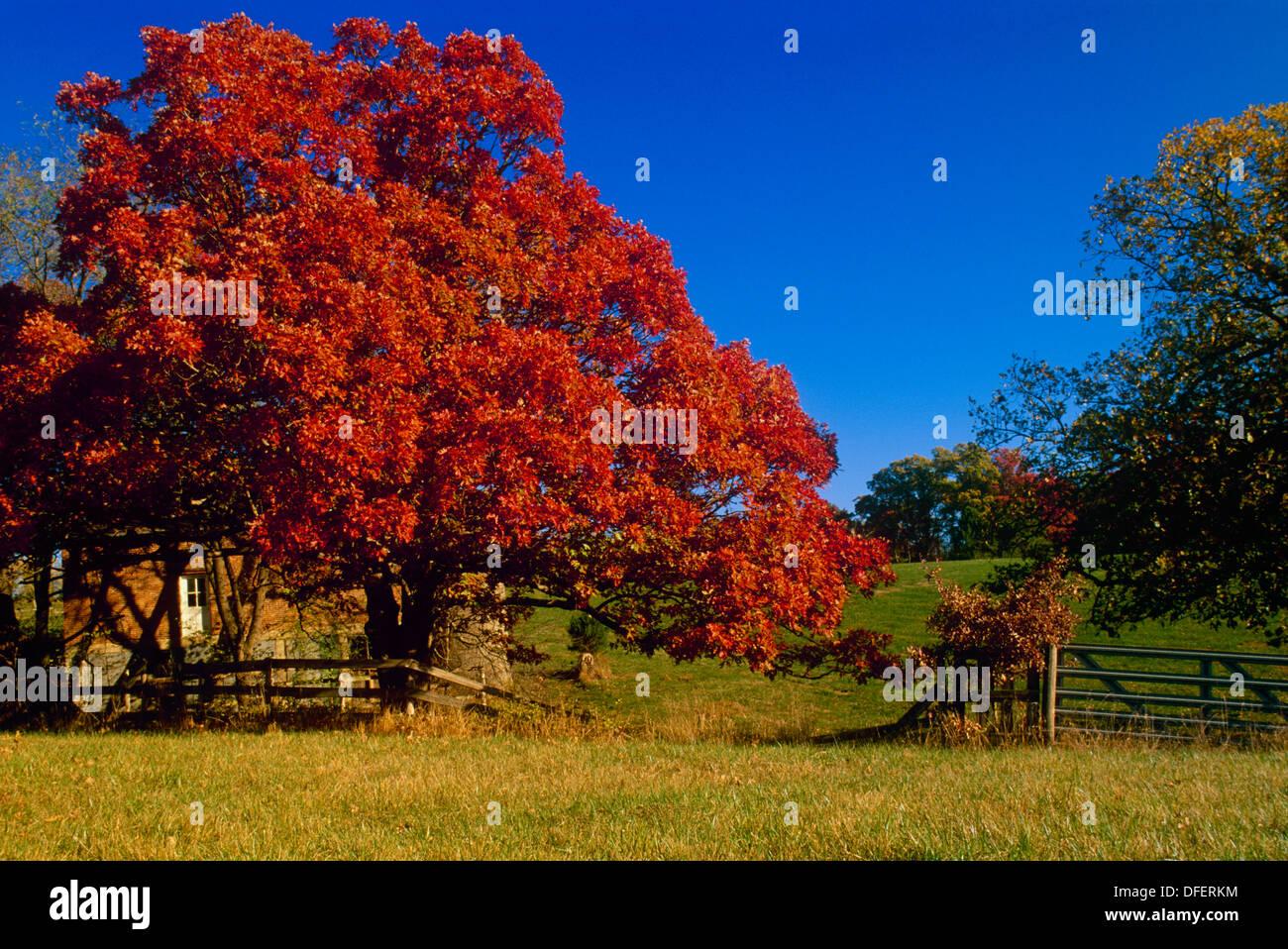 Huge white oak tree quercus alba with autumn foliage in