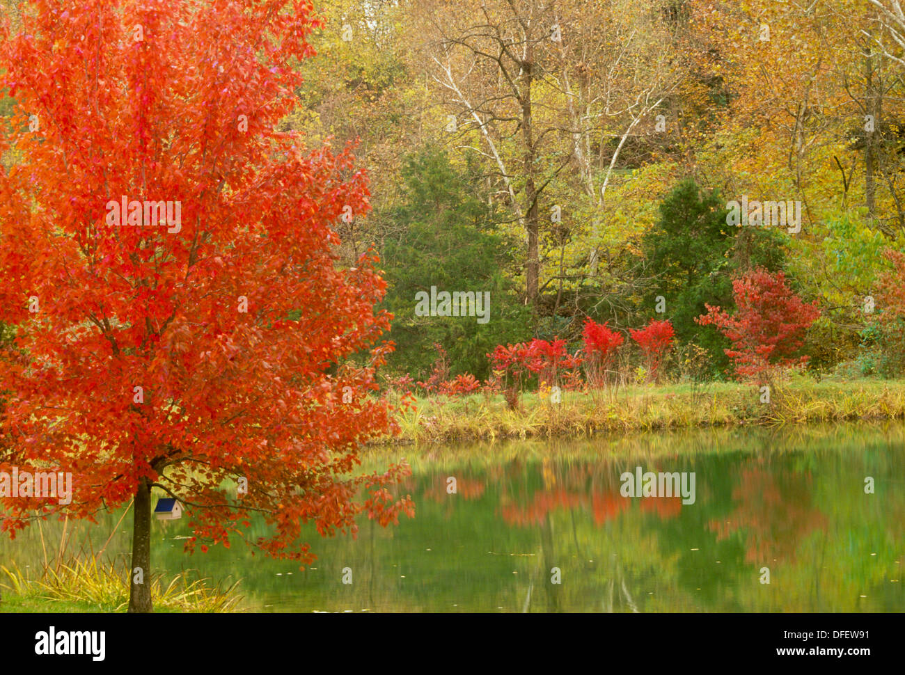 Maple sumac and dogwood trees all red in fall surrounding a