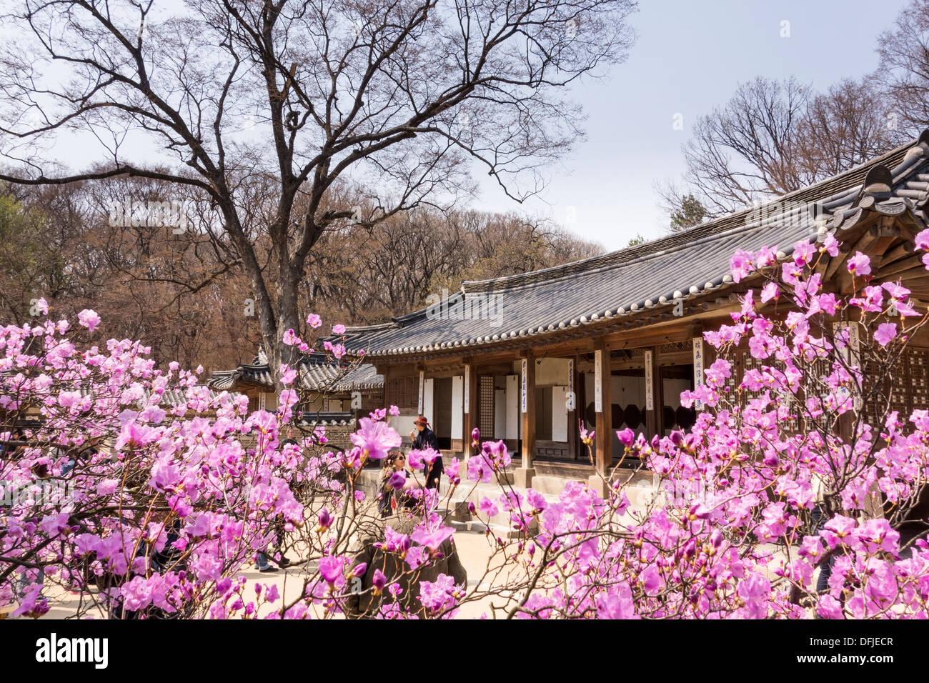 spring flowers in changdeokgung roayl palace seoul korea stock