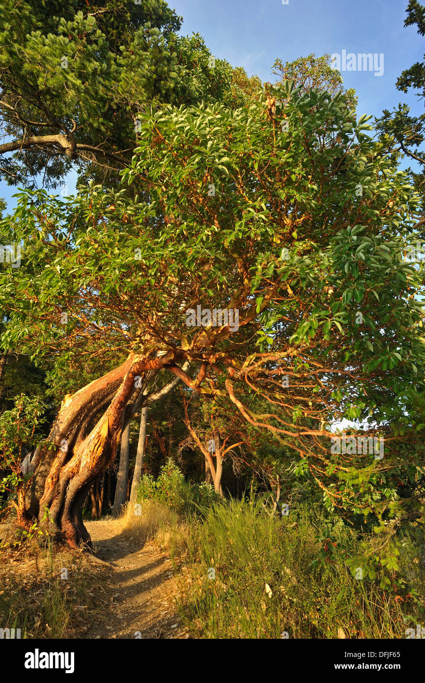 arbutus or madrone arbutus menziesii trees Tent Island Gulf Islands British Columbia Canada & arbutus or madrone arbutus menziesii trees Tent Island Gulf ...