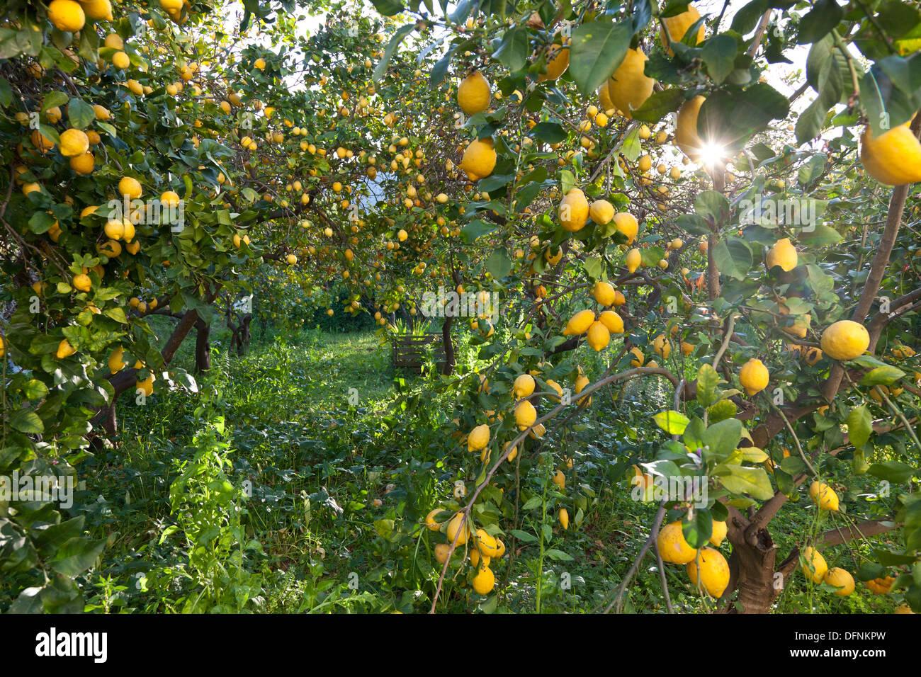 Lemon trees in a garden lemon grove citrus fruit for Lemon plant images