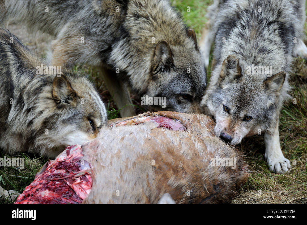 Pack of European wolves feeding on roe deer carcass (Canis ...