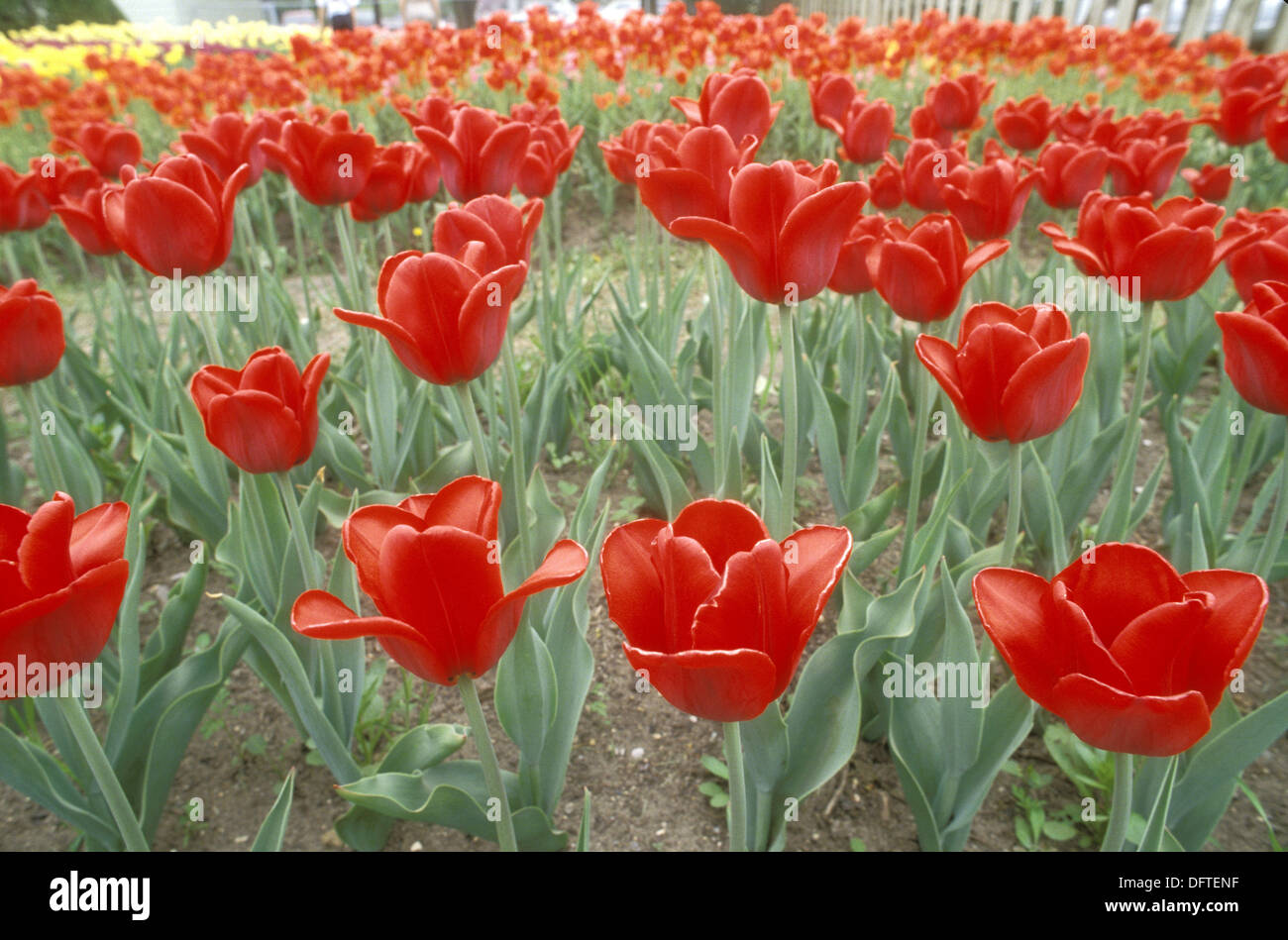 Holland Michigan Tulip Festival Veldheer Tulip Gardens Stock Photo - Holland tulip festival