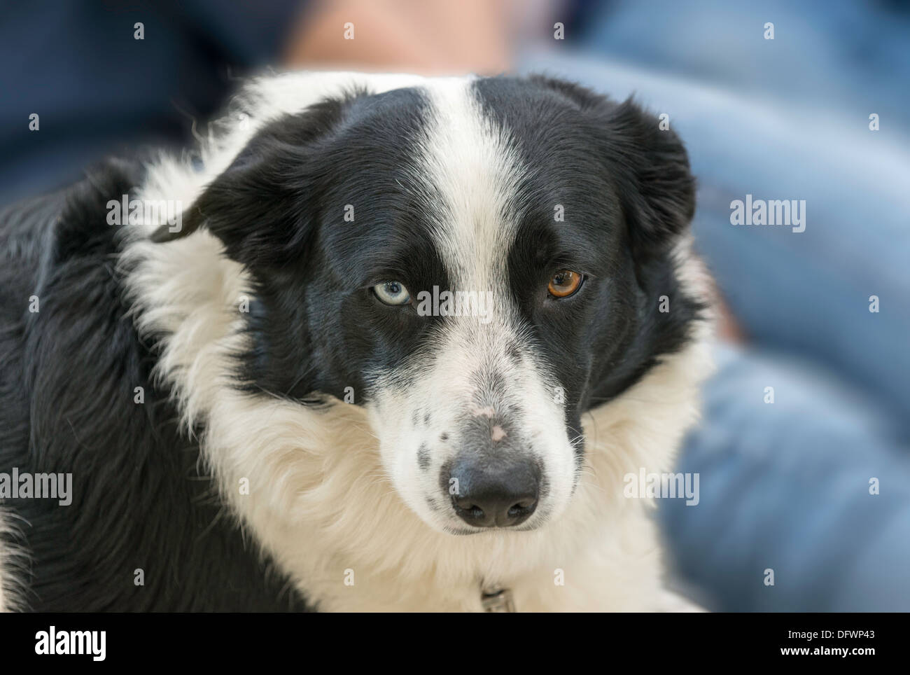brown border collie blue eyes