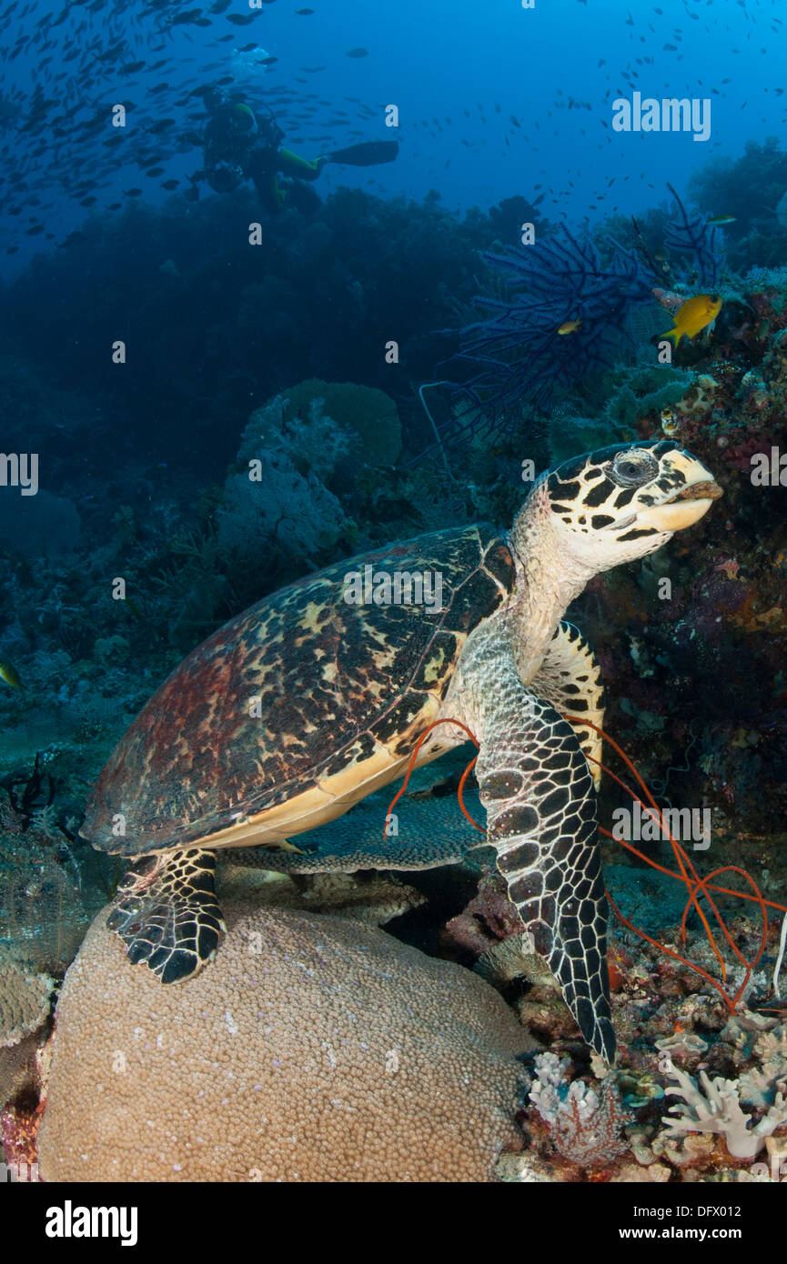 hawksbill sea turtle on a reef with diver in the background raja