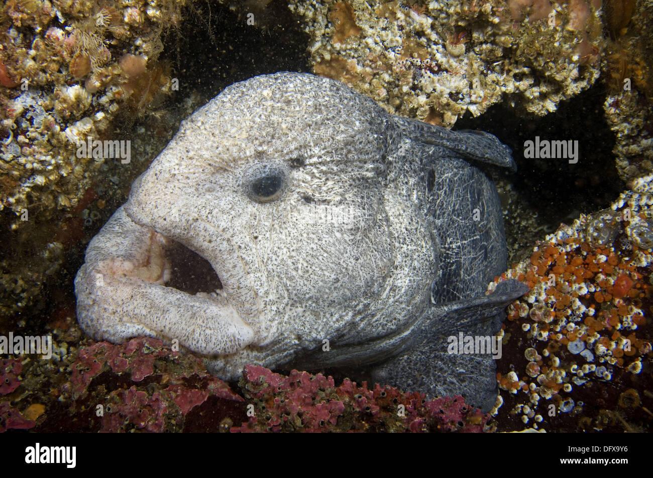Wolf eel pacific northwest fish stock photo royalty for Pacific northwest fish