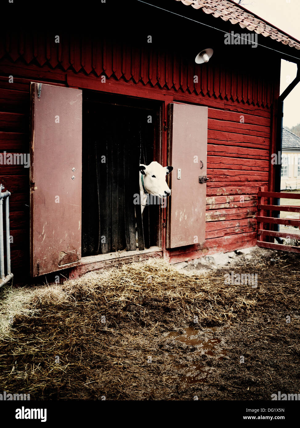 Cow poking head out of barn door stock image