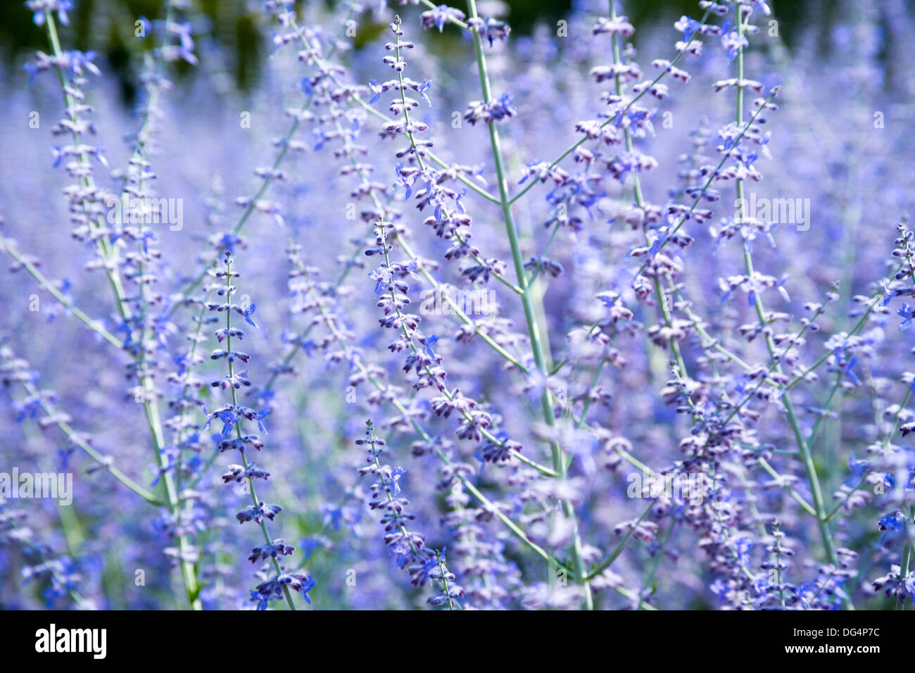 Lavender Garden Chateau France Horticulture Plants   Stock Image