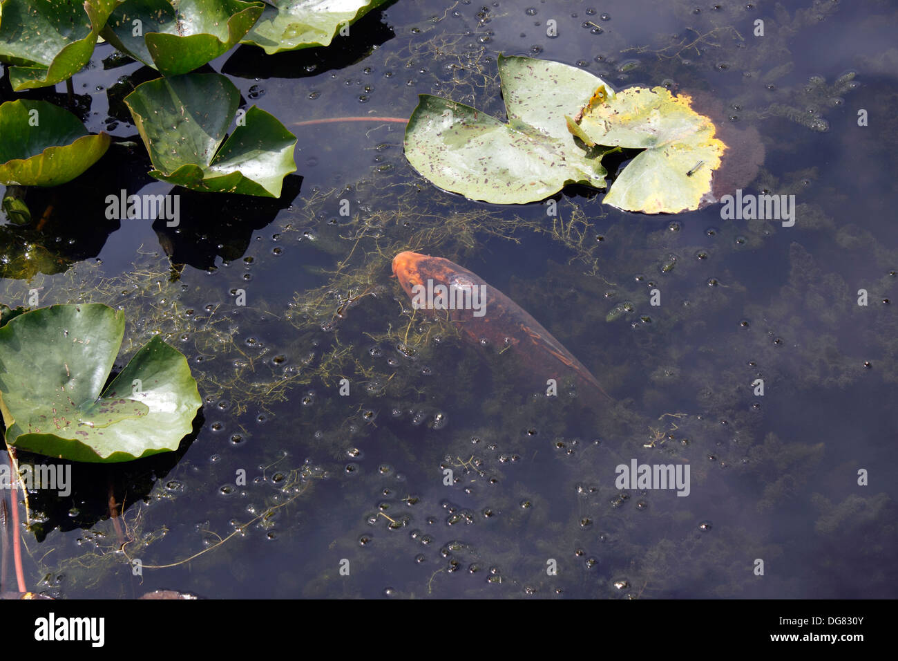 Koi carp feeding on the surface of a pond uk stock photo for Surface fish ponds