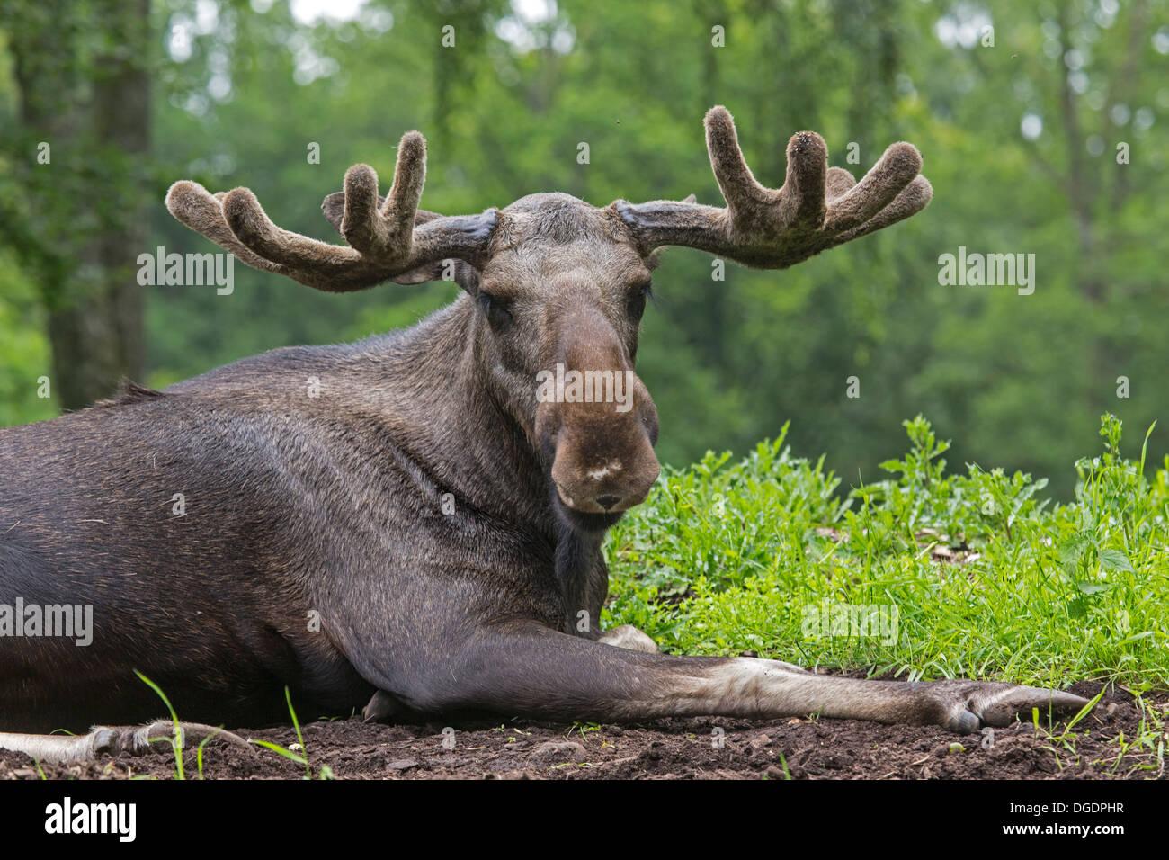 Moose | Zoo around The world