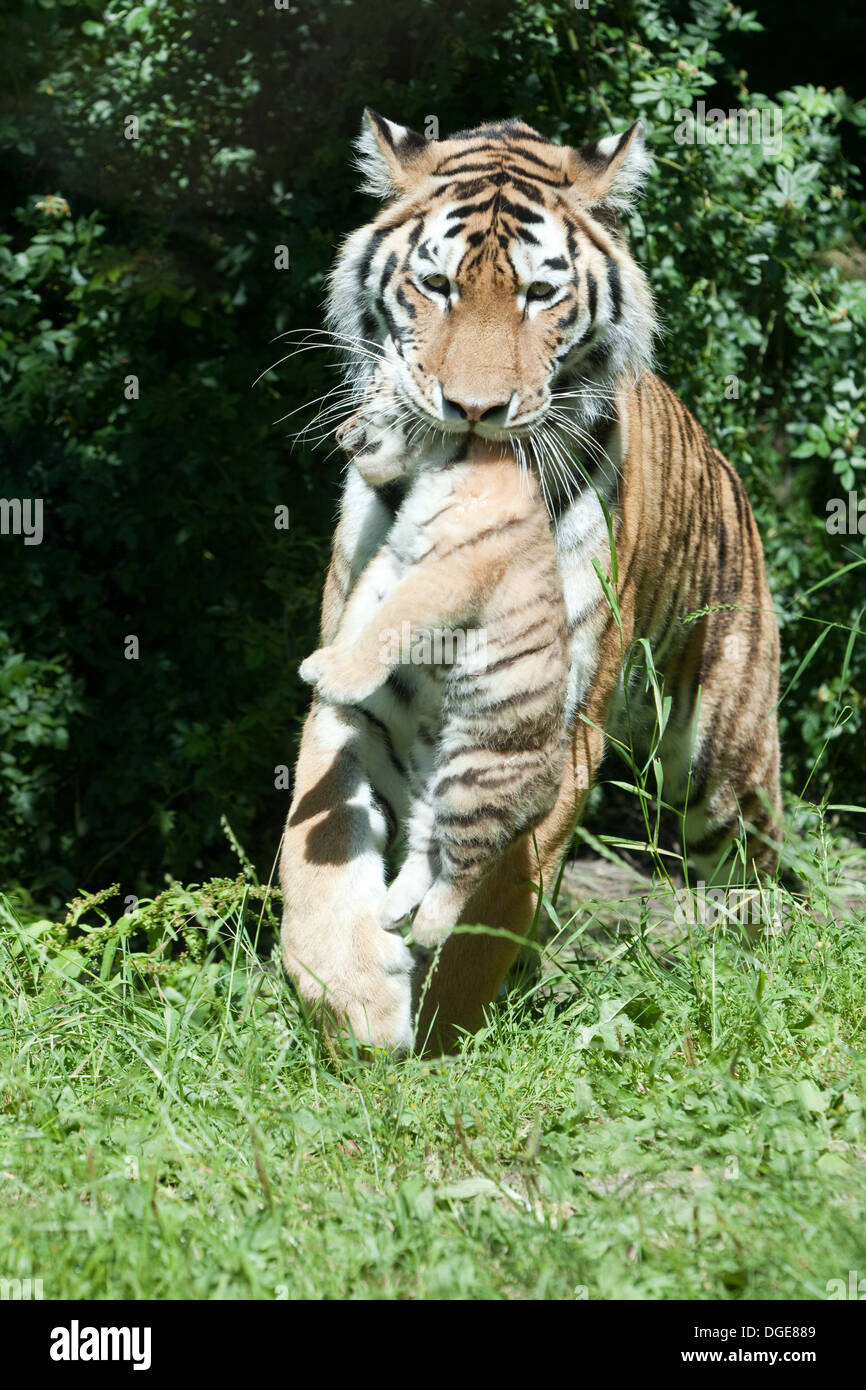 Pin by Tina Daws on Tigers | Pinterest | Families