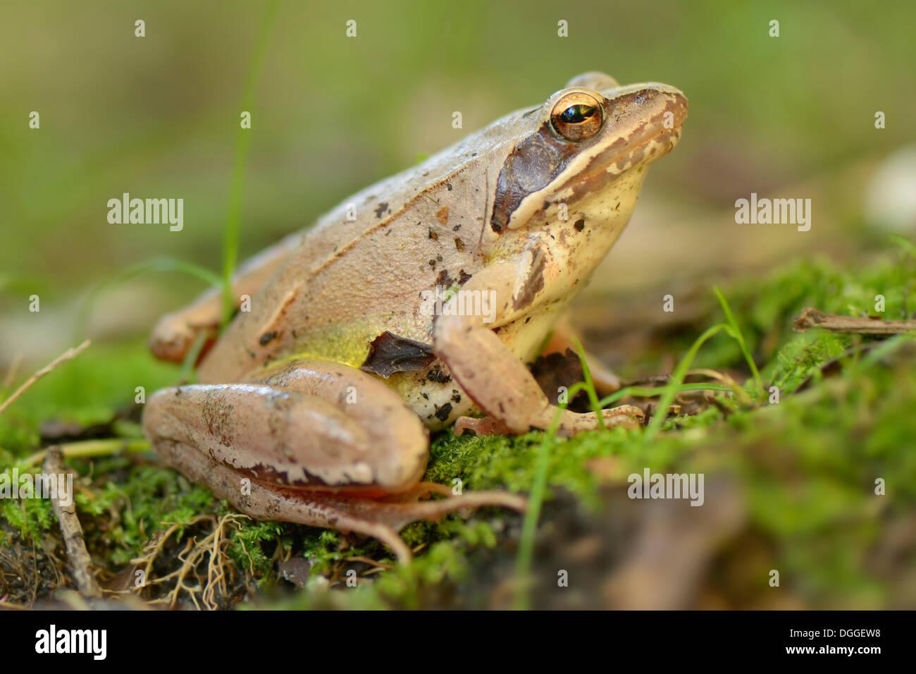 agile frog rana dalmatina magadino kanton tessin switzerland