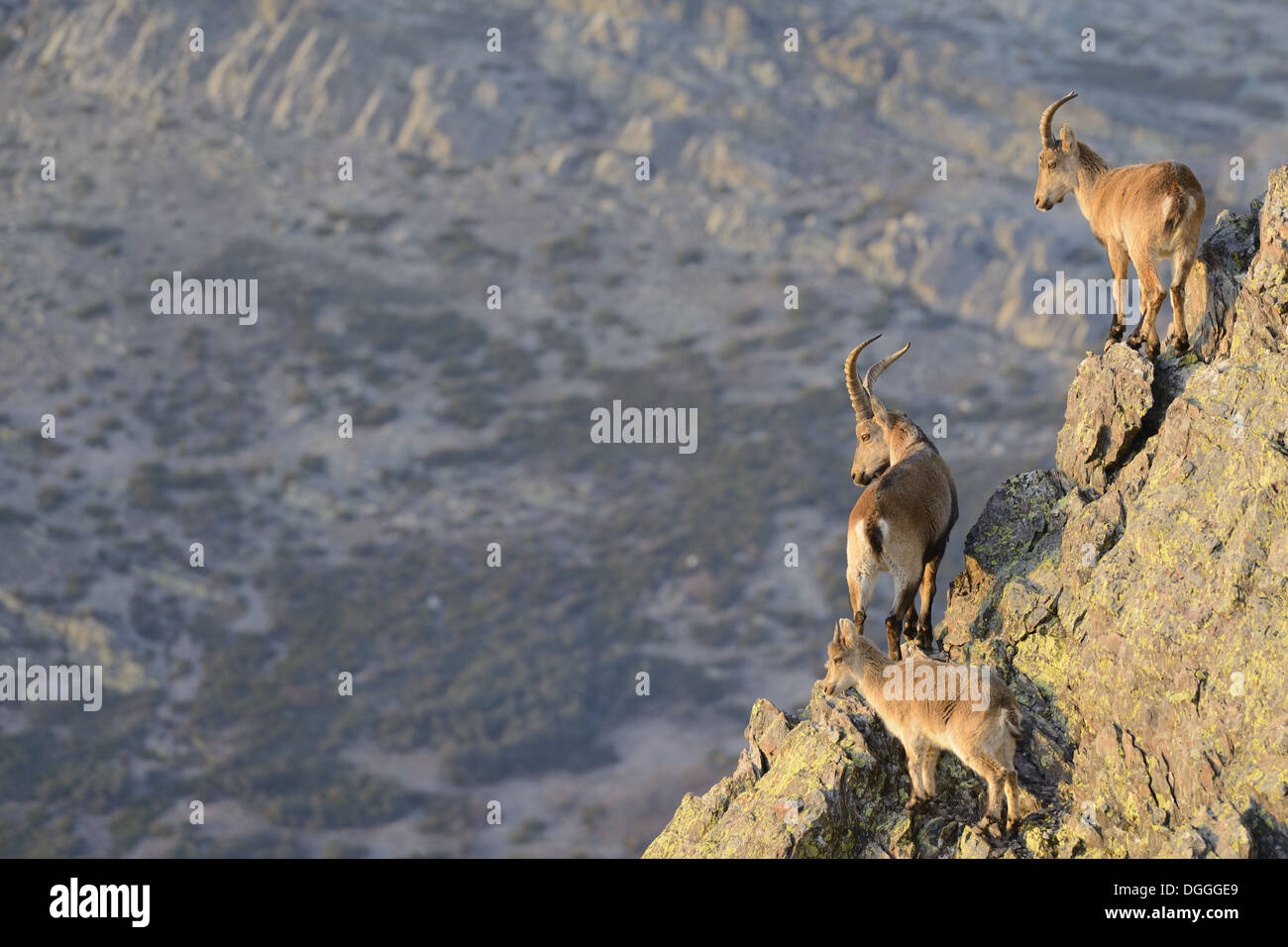 Rocks In Spanish Part - 48: Spanish Ibex (Capra Pyrenaica) Adult Male, Immature Male And Young,  Standing On Rocks In Mountain Habitat, Spain, January