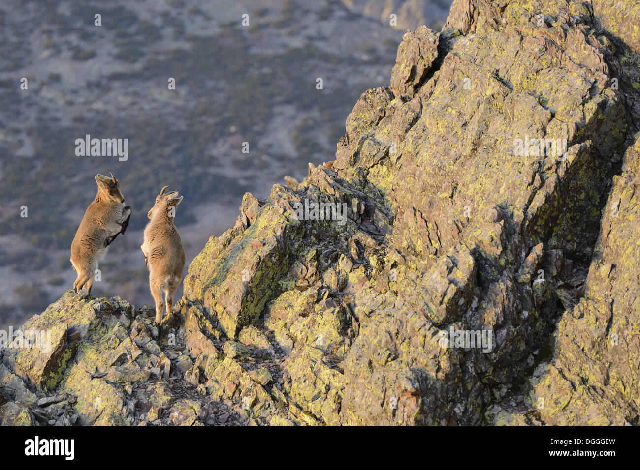 Rocks In Spanish Part - 23: Spanish Ibex (Capra Pyrenaica) Two Young, Play-fighting On Rocks In  Mountain Habitat, Spain, January