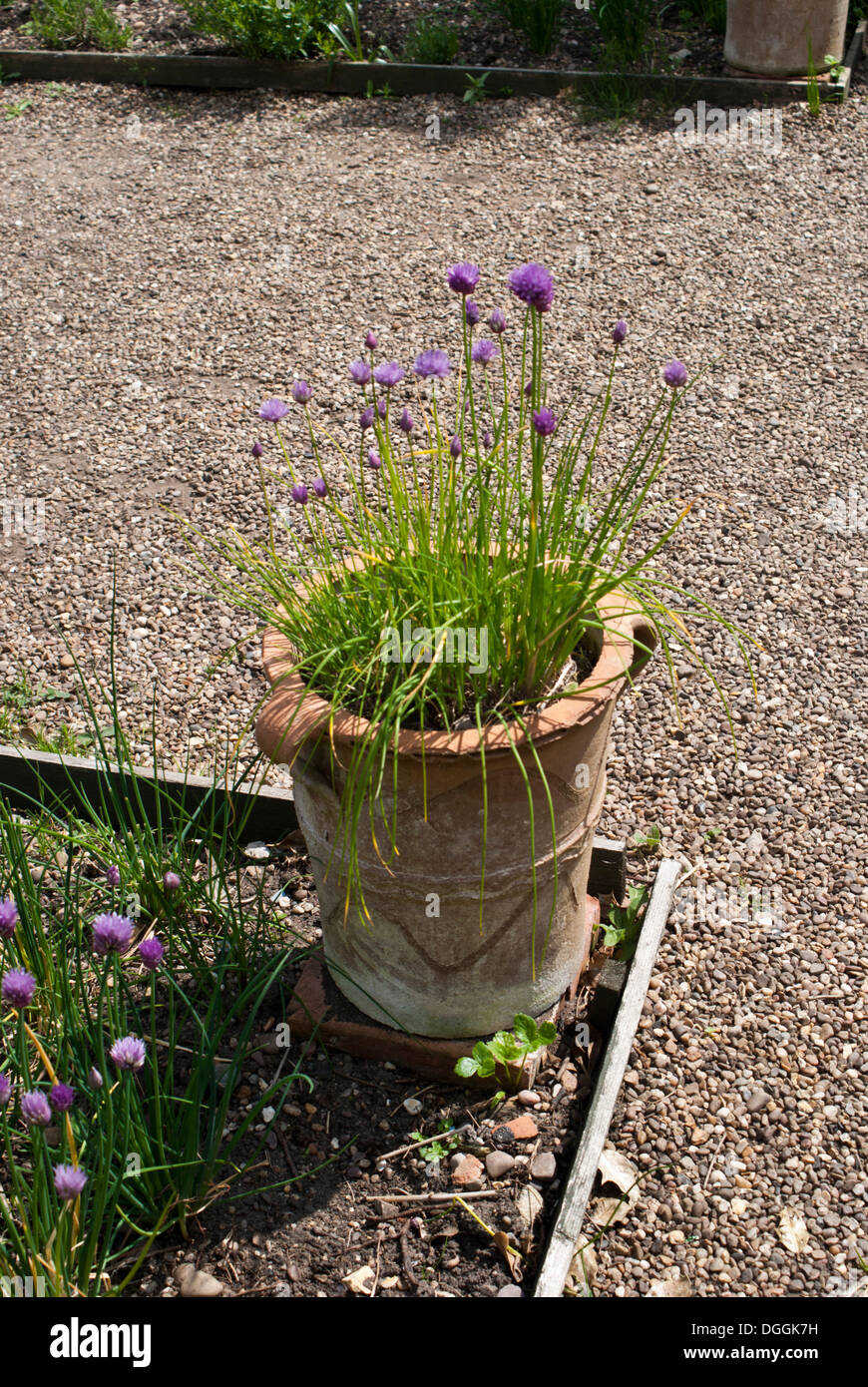 how to grow garlic chives in a pot