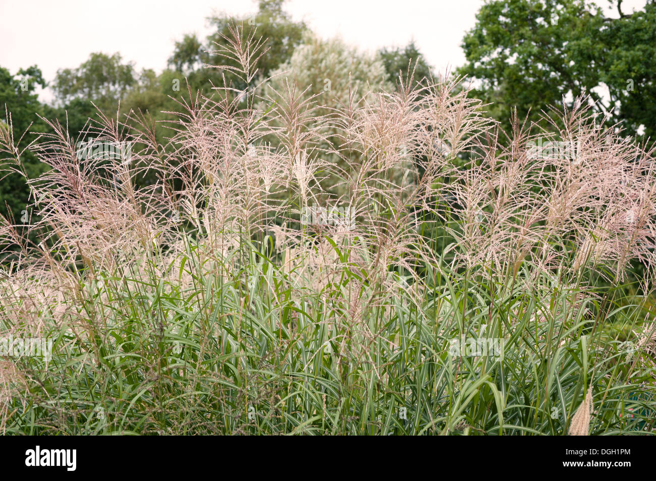 MISCANTHUS SINENSIS SILBERFEDER Stock Photo: 61840204 - Alamy