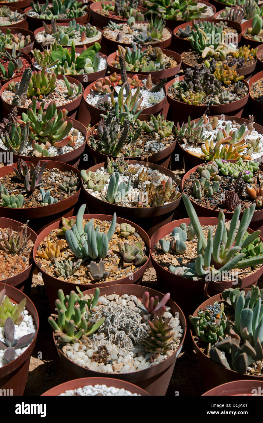 succulent plants for sale in the world 39 s largest succulent nursery stock photo royalty free. Black Bedroom Furniture Sets. Home Design Ideas