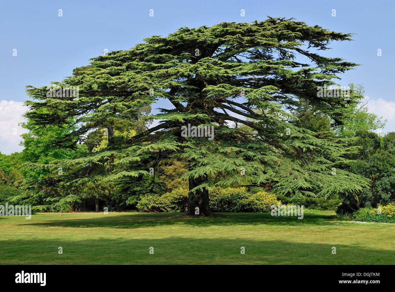 Old Lebanon Cedar Cedrus Libani