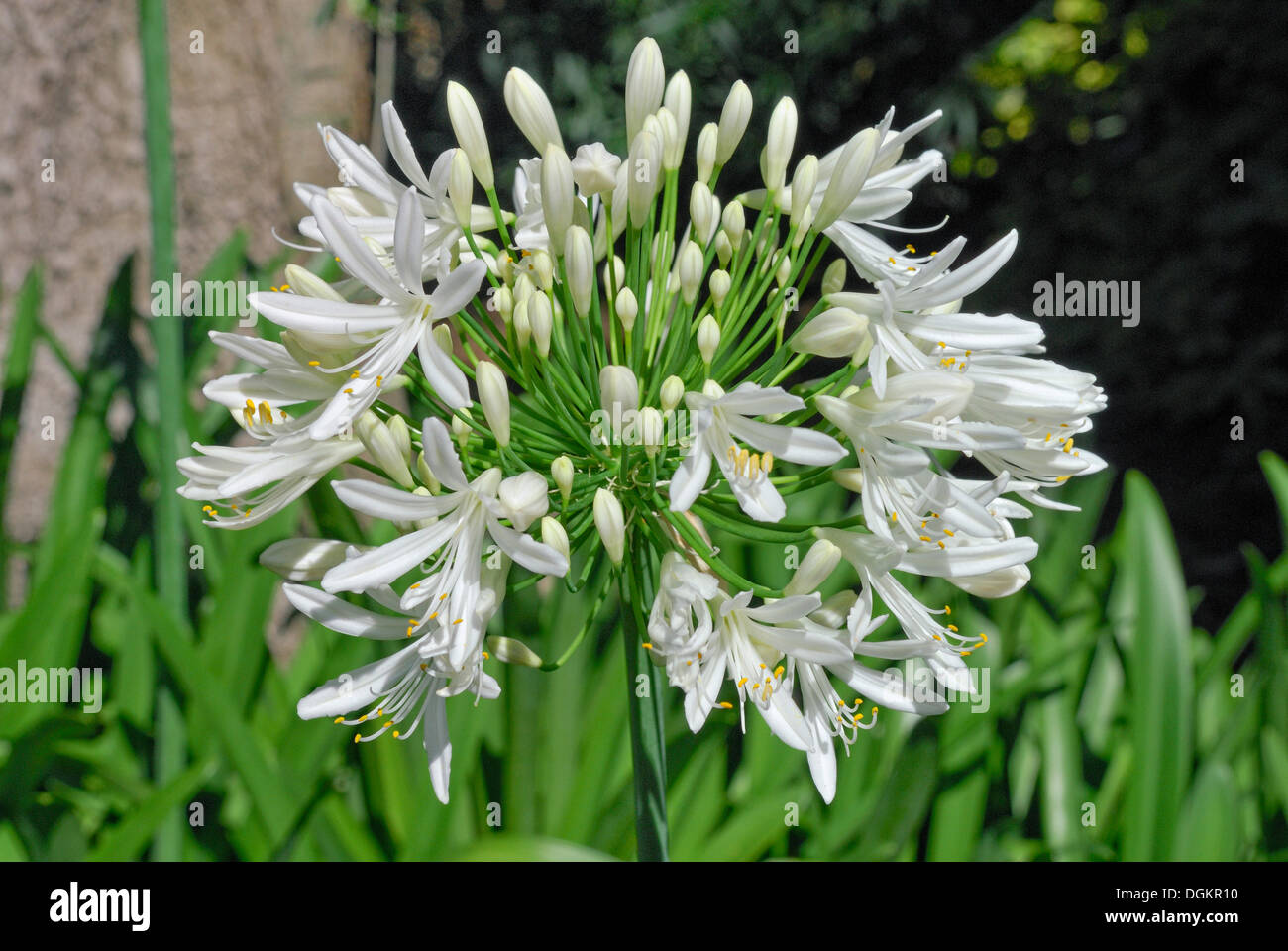 Lily of the nile agapanthus sp christchurch new zealand stock lily of the nile agapanthus sp christchurch new zealand izmirmasajfo Images