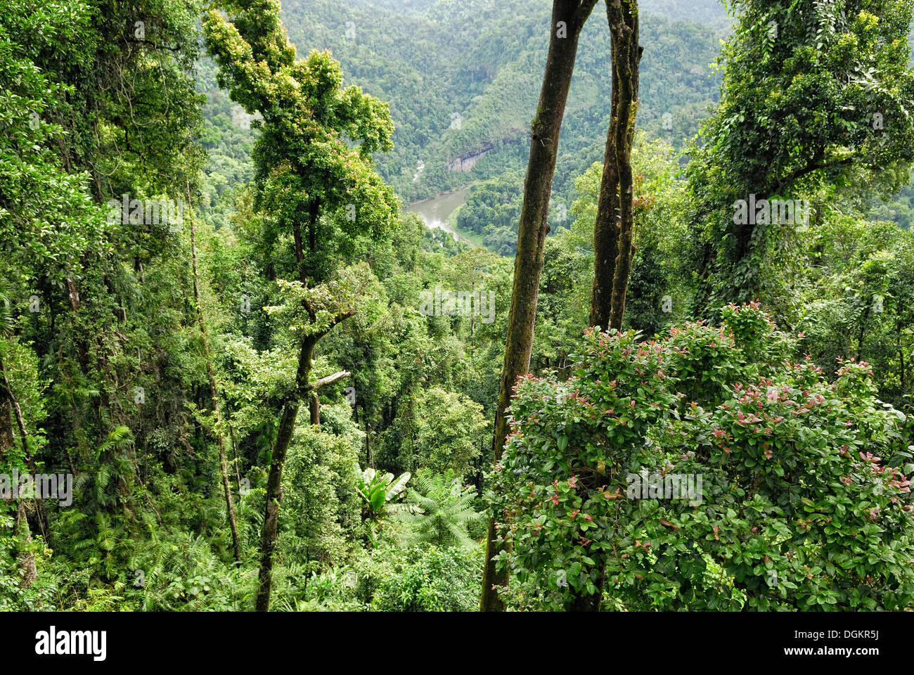 View of the rain forest Mamu Rainforest Walkway Conopy Wooroonooran National Park Queensland Australia & View of the rain forest Mamu Rainforest Walkway Conopy ...