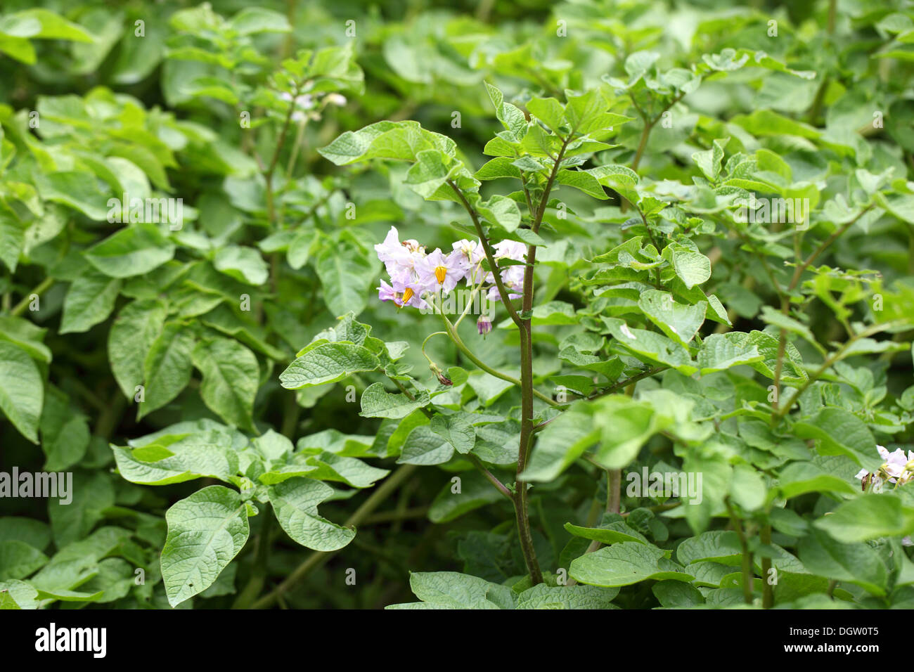 flowers potatoes on field Stock Photo, Royalty Free Image ...