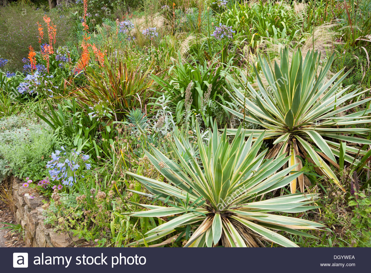 yucca gloriosa 39 variegata 39 on the mediterranean bank with. Black Bedroom Furniture Sets. Home Design Ideas